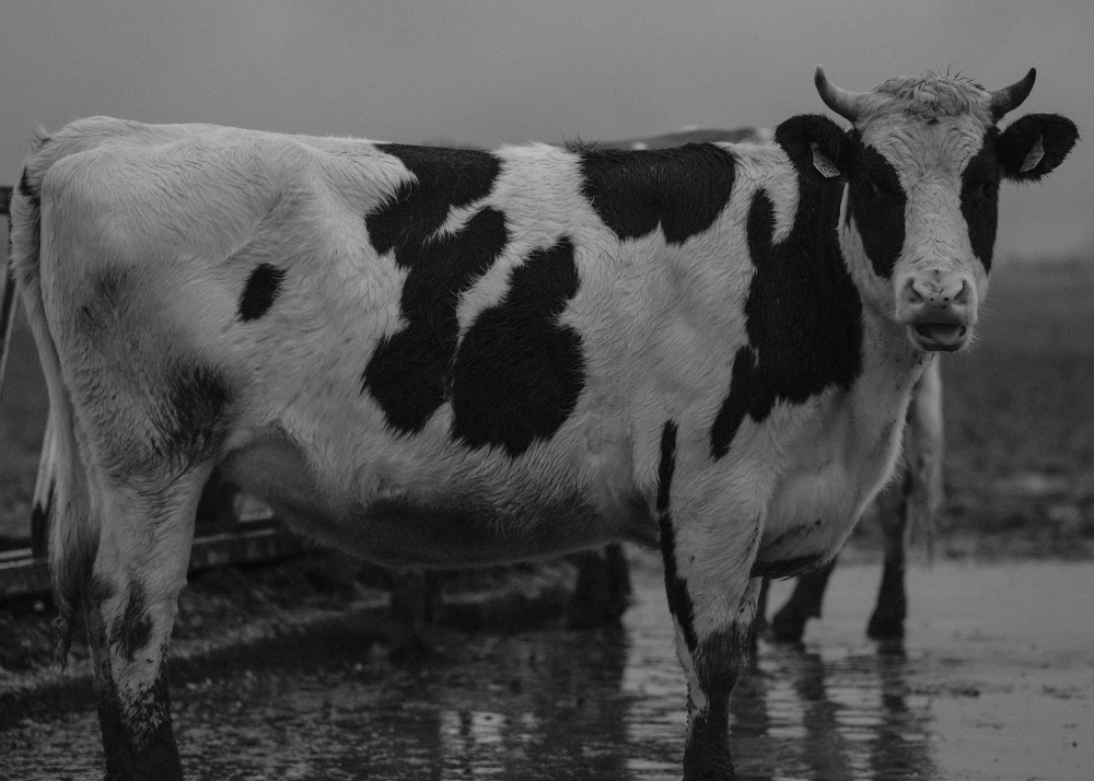 Portrait of a Wet Cow in the Rain