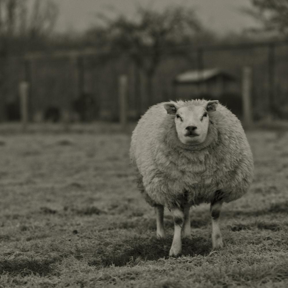 Early Sheep 2